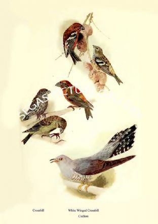 Crossbill, Cuckoo, & White Winged Crossbill